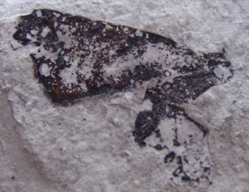 A fossil moth from France (Miocene)