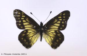 Première photo d'une femelle de Catasticta watkinsi watkinsi