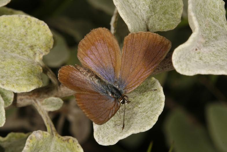 The Brenton Blue butterfly, Orachrysops niobe (TRIMEN, 1862) [Lepidoptera, Lycaenidae]