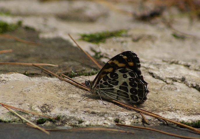 Photos de lépidoptères du Yunnan