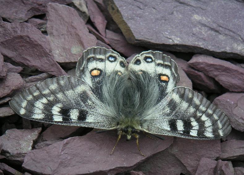 Papillons de Kirghizie