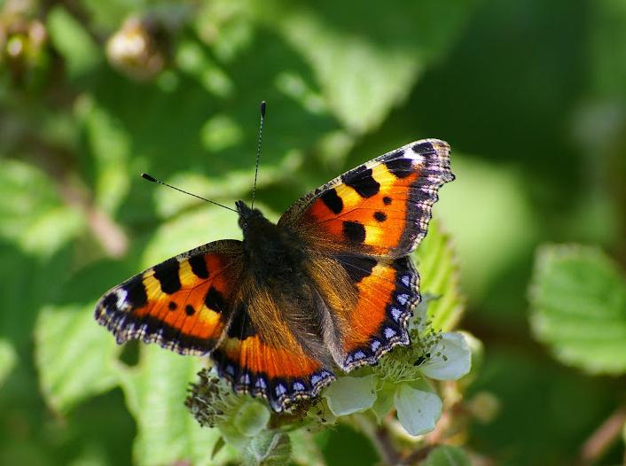 Les Papillons diurnes des Hautes-Lisières en 2009