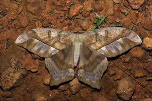 Saturniidae de Guyane française