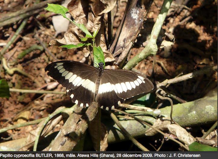 Papillons du Ghana