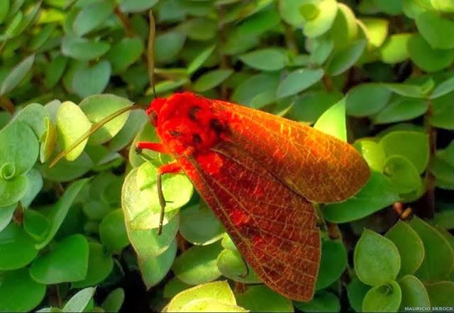 Lépidoptères du Paraná (Brésil)