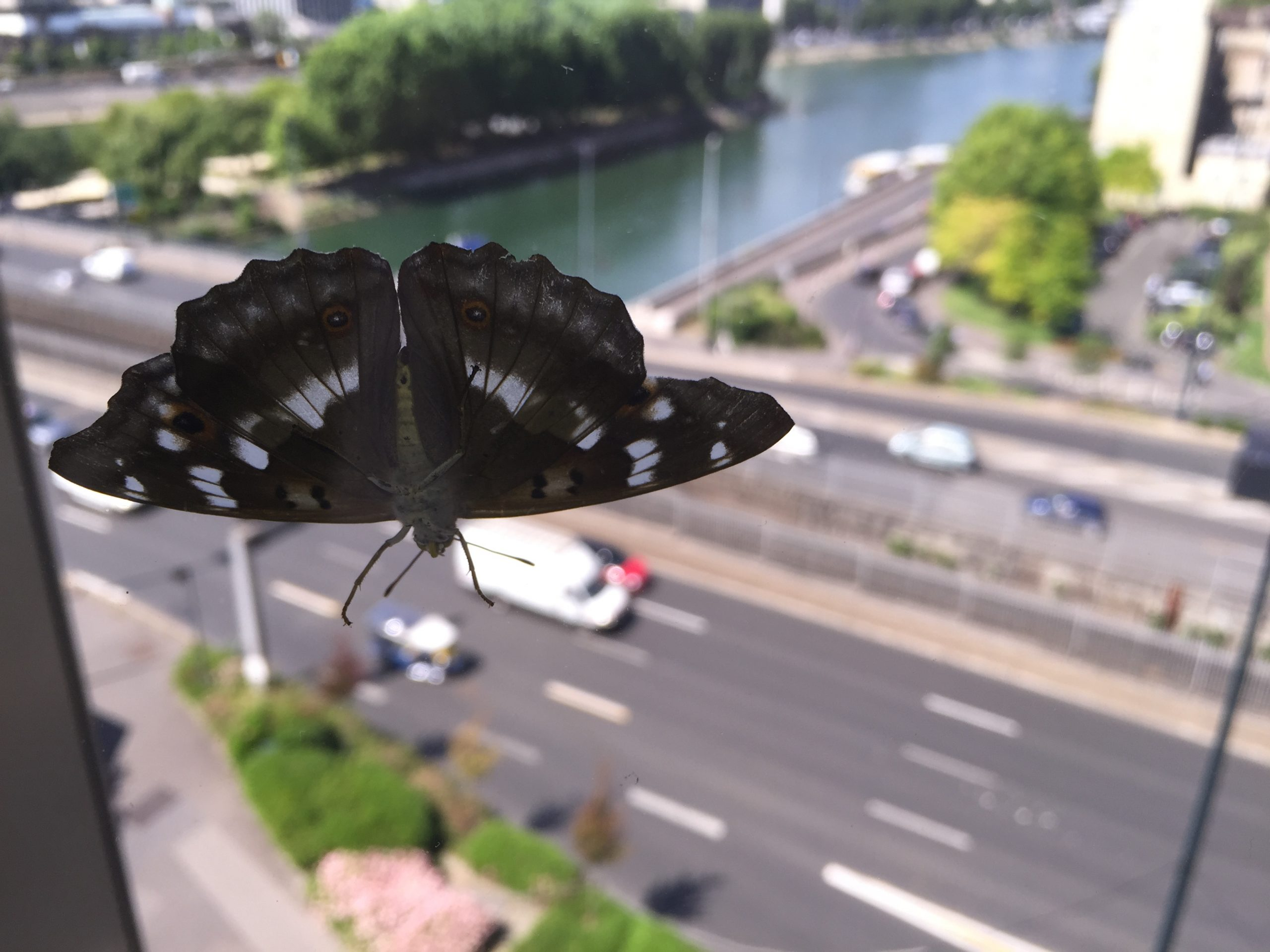 Read more about the article Apatura ilia au Pont de Neuilly