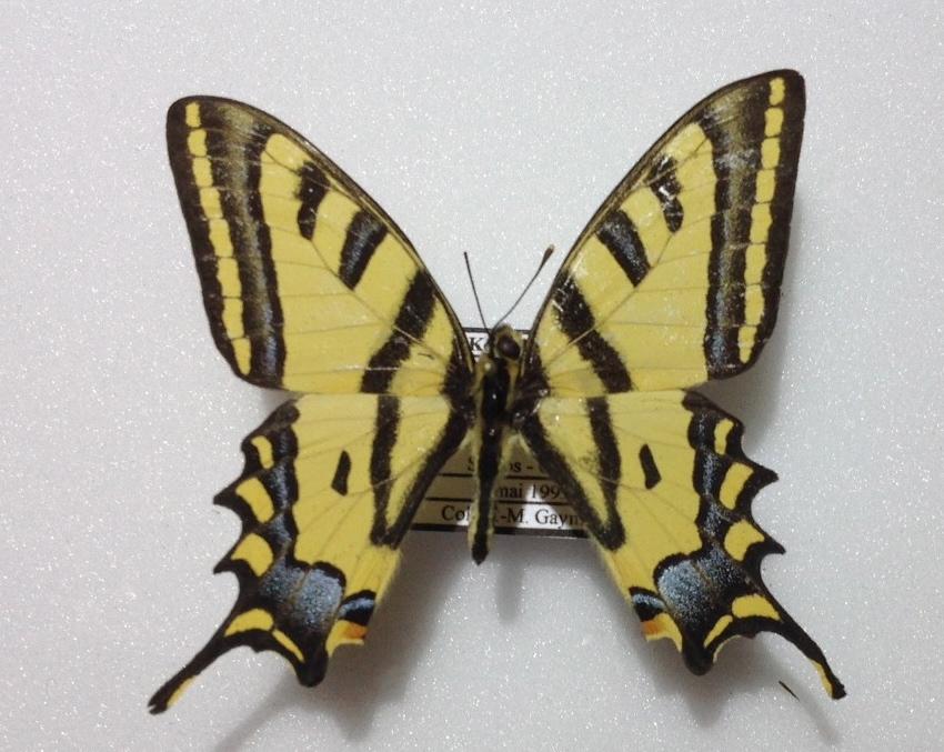 Papilio_alexanor_eitschbergeri_male_Bollino-Sala-1992_pythagoreio_100m_Samos_mai_1999_jmg
