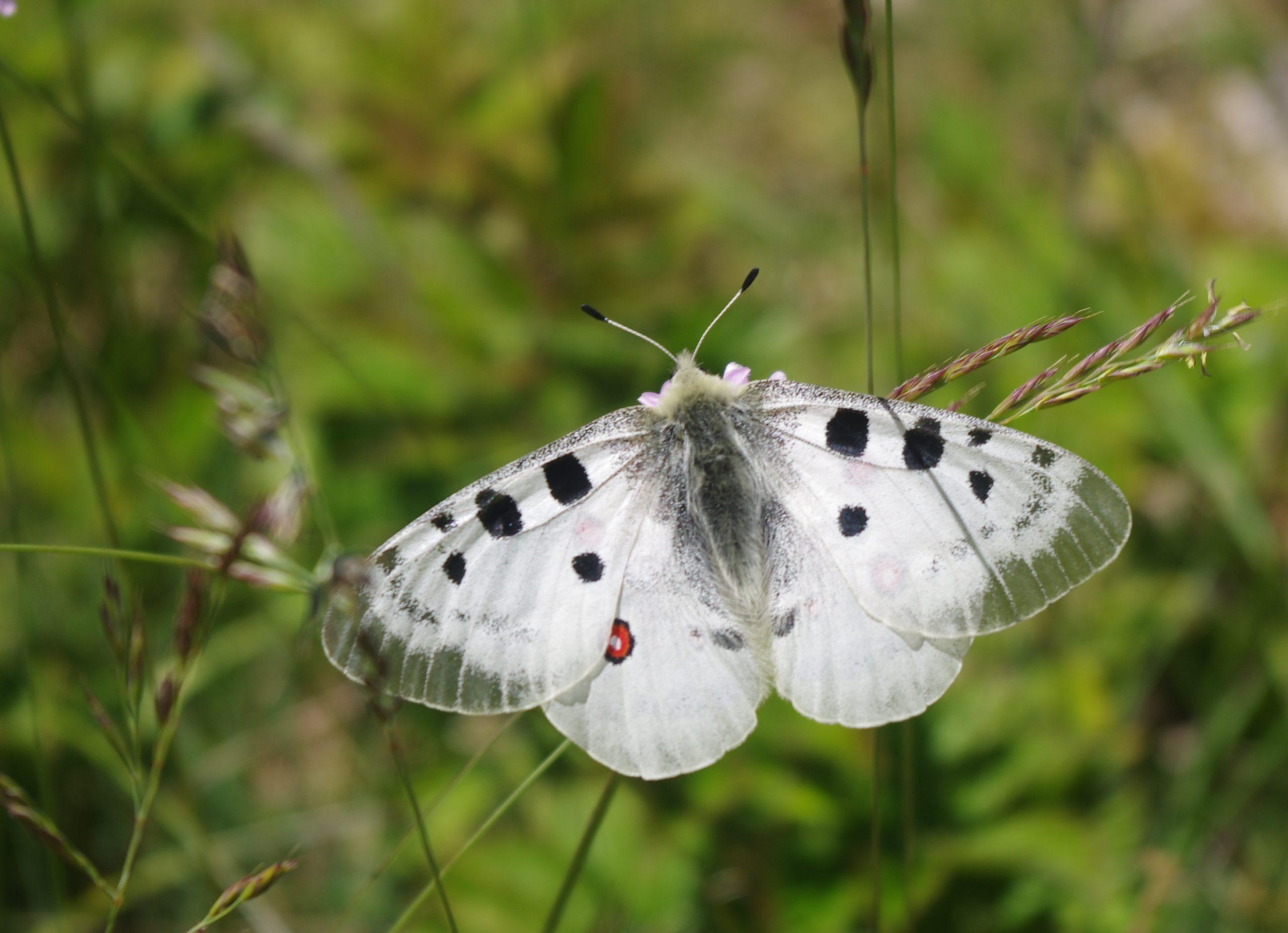 Papilionidae, du Lubéron à la Montagne de Lure (juin 2020)