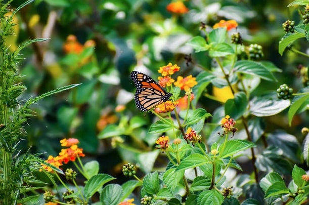 Read more about the article A Tribute To The Monarch Butterfly: How to Turn Your Backyard Into a Butterfly Friendly Habitat